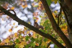L'écureuil se repose sur une branche en bois Photos stock