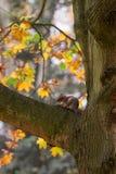 L'écureuil se repose sur une branche en bois Photographie stock libre de droits