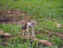 L'écureuil se tenant sur la racine Photo libre de droits