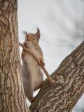 L'écureuil se tient sur ses jambes de derrière photos stock
