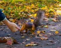 L'écureuil serre la main à une dame en parc de ville L'écureuil donne sa patte Images libres de droits