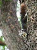 L'écureuil sont heureux tandis qu'il ont un écrou Photos libres de droits
