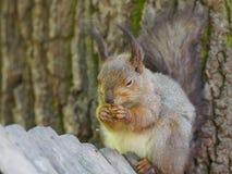 L'écureuil sur l'arbre mange photos libres de droits
