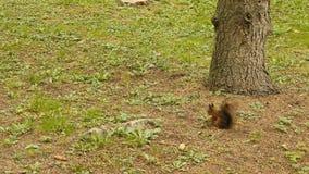 L'écureuil trouve l'écrou en parc banque de vidéos