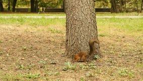 L'écureuil trouve la nourriture en parc banque de vidéos