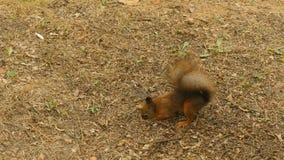 L'écureuil trouve les écrous dans la terre banque de vidéos