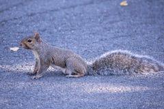 L'écureuil va où ? Photo libre de droits