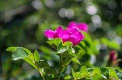 L'églantier rose s'est levé s'élevant dans la forêt Photographie stock
