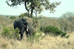 L'éléphant Image stock