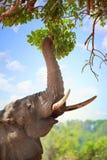 L'éléphant africain avec le tronc a prolongé l'atteinte pour les feuilles vertes luxuriantes dans un manguier succulent, luangwa  photographie stock libre de droits