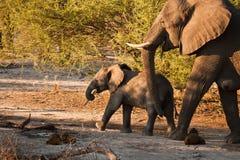 L'éléphant africain et le chéri prennent le déjeuner sur la mouche Images stock