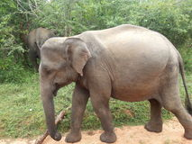 L'éléphant asiatique Images stock