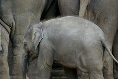 L'éléphant asiatique (enfant) Image libre de droits