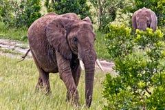 L'éléphant au Kenya Image stock