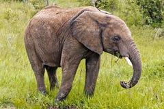L'éléphant au Kenya Photo libre de droits