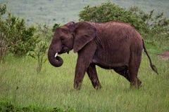 L'éléphant au Kenya Image libre de droits