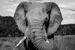 L'éléphant blessé Images libres de droits