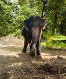 L'éléphant d'Asie Image libre de droits