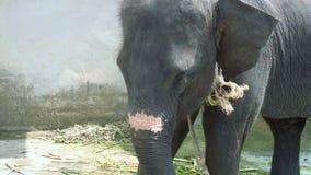 L'éléphant de bébé reste sur la laisse et canne à sucre de mastication banque de vidéos