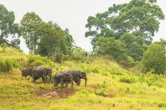 L'éléphant de la Thaïlande mangent beaucoup d'affaires ensemble dans la saison des pluies Photographie stock libre de droits
