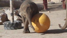 L'éléphant de zoo de bébé joue avec une grande boule jaune