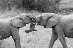 L'éléphant deux saluent avec le bordage et l'escroquerie artistique de troncs émouvants Photographie stock