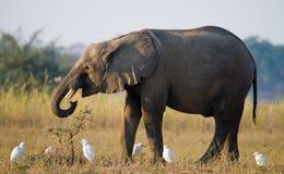 L'éléphant est entouré par les hérons blancs zambia Abaissez le parc national du Zambèze La rivière Zambesi Image libre de droits