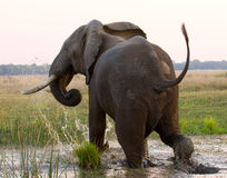 L'éléphant fonctionne loin zambia Abaissez le parc national du Zambèze La rivière Zambesi Image libre de droits