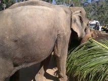 L'éléphant, les feuilles Photo libre de droits
