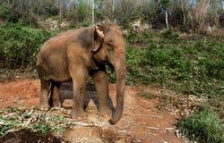 L'éléphant pendant le matin Images libres de droits