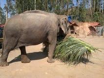 L'éléphant porte les feuilles Photo libre de droits