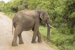 L'éléphant sauvage en parc national de Yala traverse la route Image stock