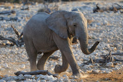L'éléphant vient Image stock