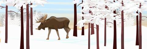 L'élan passe par les animaux couverts de neige de forêt de pin de la Russie, de l'Europe, des Etats-Unis, du Canada et de la Scan illustration libre de droits