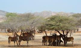 L'éland géant vit en troupe, abri sous des arbres de désert, Sir Baniyas Island Photos libres de droits