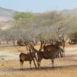 L'éland géant vit en troupe, abri sous des arbres de désert, Sir Baniyas Island Images stock