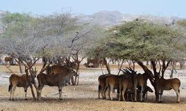 L'éland géant vit en troupe, abri sous des arbres de désert, Sir Baniyas Island, oiseaux Photographie stock libre de droits