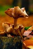 L'élevage brun orange de champignon fongueux sur le bois putréfié frappent du pied Image libre de droits