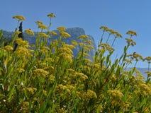 L'élevage dans les zones montagneuses et non seulement dans elles a employé comme aneth d'herbe d'assaisonnement Photos libres de droits