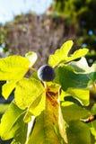 L'élevage de figues Photos libres de droits