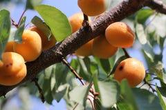 L'élevage de fruits doux mûr d'abricot sur un abricotier s'embranchent dans le verger Photos libres de droits