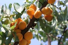 L'élevage de fruits doux mûr d'abricot sur un abricotier s'embranchent dans le verger Images stock