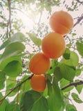 L'élevage de fruits doux mûr d'abricot sur un abricotier s'embranchent Images stock