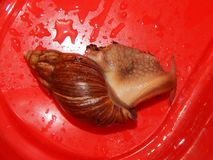 L'élevage de grands escargots dans la mini-serre Photographie stock