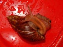 L'élevage de grands escargots dans la mini-serre Photos stock