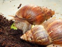 L'élevage de grands escargots dans la mini-serre Image libre de droits