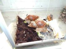 L'élevage de grands escargots dans la mini-serre Images libres de droits
