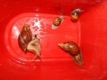 L'élevage de grands escargots dans la mini-serre Images stock