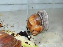 L'élevage de grands escargots dans la mini-serre Photo stock