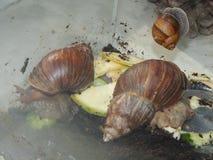 L'élevage de grands escargots dans la mini-serre Image stock